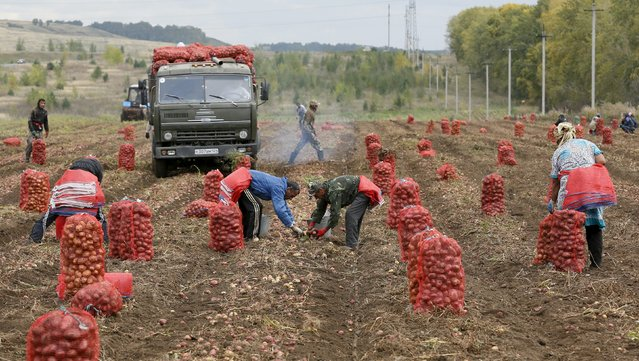 Migrant workers from Uzbekistan collect potatoes at a private agrarian field in the village of Beryozovka near Russia's Siberian city of Krasnoyarsk, Russia, September 7, 2015. (Photo by Ilya Naymushin/Reuters)