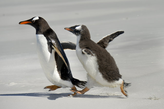 An adult Gentoo penguin in closely chased by a juvenile of the same type on Thursday, February 11, 2016, on Bertha's Bearch, Falkland Islands.  Gentoo penguins are the most numerous in the islands and, standing at an average of 2.5 feet, they're the islands' second largest penguins to only the King penguin. The beach, one of the finest wildlife sites in the Falkland Islands, was named after the ship Bertha, a 500 ton iron barque that was wrecked here in 1892. (Photo by Jahi Chikwendiu/The Washington Post)