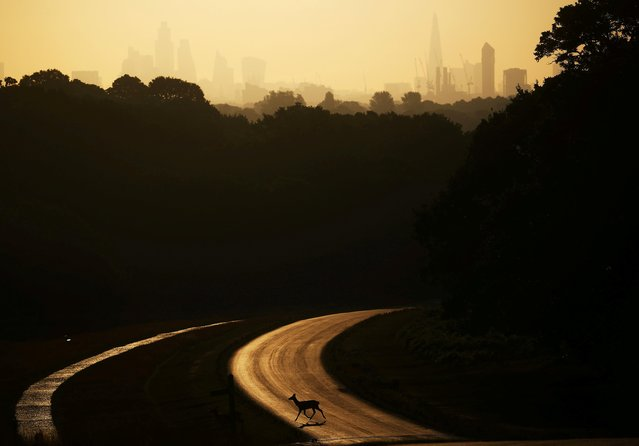 A deer crosses the road as the sun rises behind The Shard and the financial district in Richmond Park in London, Britain, June 25, 2020. (Photo by Hannah McKay/Reuters)