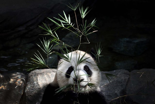 Kai Kai, one of two Giant Pandas from China, sits in its enclosure during the grand opening of the Giant Panda Forest exhibit at the River Safari in Singapore, on November 28, 2012. The two Giant Pandas will be residing at the River Safari, part of the Wildlife Reserves Singapore's new attraction opening in 2013. (Photo by Wong Maye-E/Associated Press)
