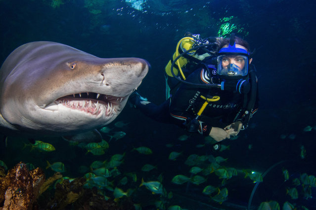 Winner, Behind the Scenes category: Hold your gaze, by Donovan Lewis at Blue Planet Aquarium. Species: Sand tiger shark. (Photo by Donovan Lewis/BIAZA 2020 Photography Competition)