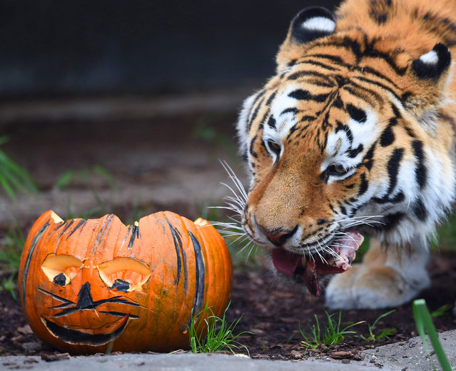 Tiger Lailek sniffs a meat-filled Jack-o'-lantern at Hagenbeck Zoo in Hamburg, Germany, 29 October 2014. Both tigers of the zoo received treats for Halloween. (Photo by Daniel Bockwoldt/EPA)