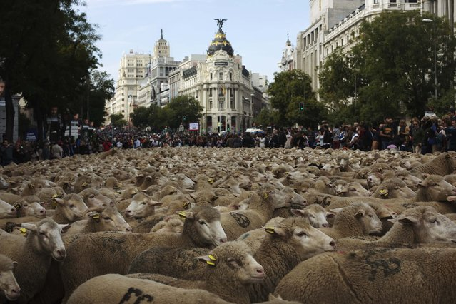 Sheep are herded during the annual sheep parade through Madrid November 2, 2014. (Photo by Susana Vera/Reuters)