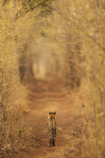 """Tiger in the Tunnel"". This sub-adult tiger was photographed at India's Tadoba Andhari Tiger Reserve. Seeing the bamboo tunnel, I had envisaged this image. He was around a bend in the road and we could not even see him as we were the last jeep. As luck would have it he then got up and walked around, making us the first vehicle. (Photo and caption by A. Apana/National Geographic Photo Contest)"