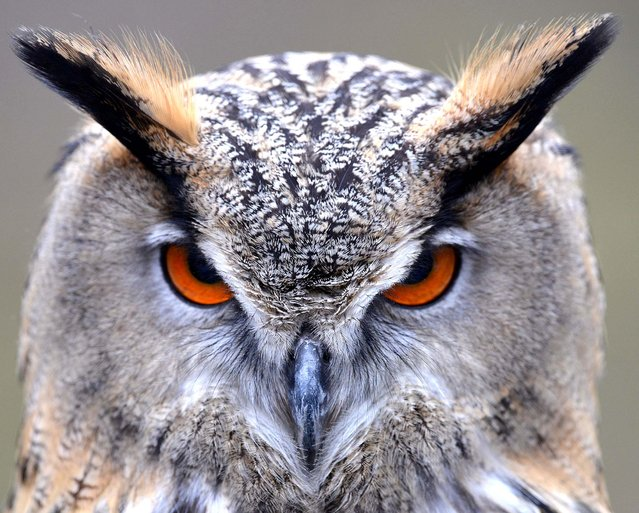 An Eurasian Eagle Owl sits in its enclosure in Munich's Hellabrunn Zoo, on April 3, 2013. (Photo by Frank Leonhardt/dpa)