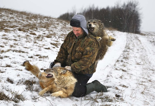 Belarusian Sergei Selekh plays with his 6-month-old tamed wolves on the outskirts of the village of Gaina, 45 kilometers (28 miles) north of Belarus capital Minsk, Wednesday, December 31, 2014. Selekh owns a farmstead, where sheep, wolves and an ethnographic museum serve as entertainment for guests. (Photo by Sergei Grits/AP Photo)
