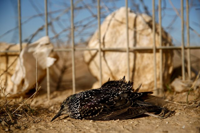 A dead migrating starling lies near a fence close to the southern Israeli city of Beer Sheva December 29, 2015. (Photo by Amir Cohen/Reuters)