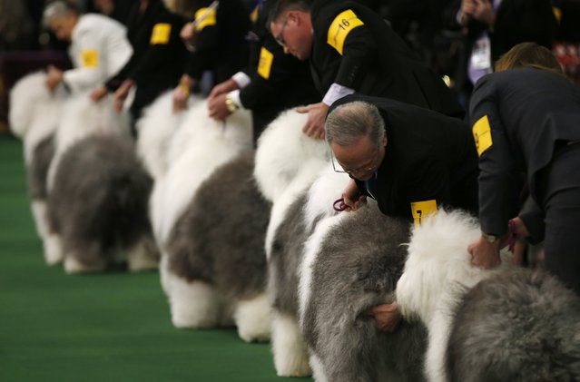 Old English Sheep dogs are placed by handlers in the ring during competition at the 139th Westminster Kennel Club's Dog Show in the Manhattan borough of New York February 16, 2015. (Photo by Mike Segar/Reuters)