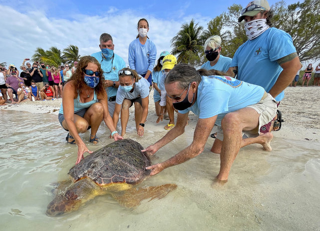 """In this photo provided by the Florida Keys News Bureau, Bette Zirkelbach, front left, and Richie Moretti, front right, manager and founder respectively of the Florida Keys-based Turtle Hospital, release """"Sparb"""", a sub-adult loggerhead sea turtle, Thursday, April 22, 2021, at Sombrero Beach in Marathon, Fla. The reptile was found off the Florida Keys in late January 2021 with severe wounds and absent a front right flipper. It was not expected to survive but was treated with a blood transfusion, extensive wound care, broad-spectrum antibiotics, IV nutrition and laser therapy. The turtle made a full recovery and was returned to the wild in conjunction with Thursday's Earth Day celebrations. (Photo by Andy Newman/Florida Keys News Bureau via AP Photo)"""