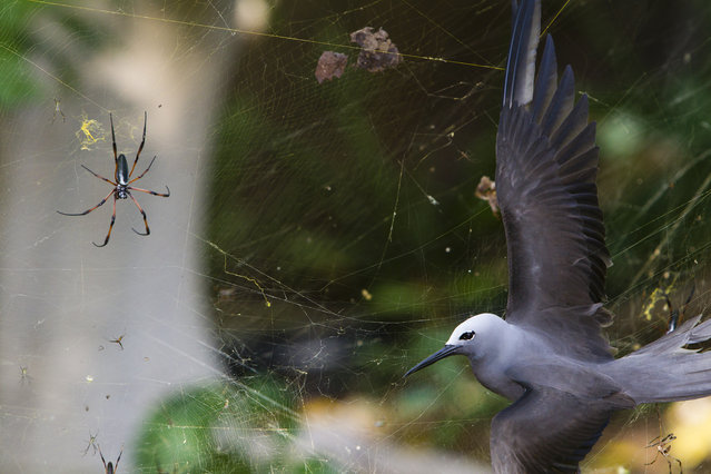"""South Africa: """"Sticky situation"""". In May, the seafaring lesser noddies head for land to breed. Their arrival on the tiny island of Cousine in the Seychelles coincides with peak web size for the red-legged golden orb-web spiders. The female spiders, which can grow to the size of a hand, create colossal conjoined webs up to 1.5 metres in diameter in which the tiny males gather. These are woven from extremely strong silk and are suspended up to six metres above the ground, high enough to catch passing bats and birds, though it's flying insects that the spiders are after. Noddies regularly fly into the webs. Even if they struggle free, the silk clogs up their feathers so they can't fly. (Photo by Isak Pretorius/Wildlife Photographer of the Year 2013)"""