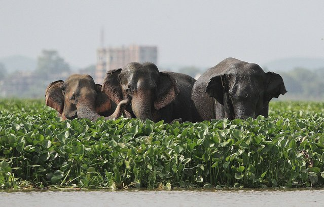 Wild elephants stand at the Deepor Beel wildlife sanctuary on the outskirts of Gauhati, India, Wednesday, October 16 2013. Wild elephant herds often visit the sanctuary to swim in the waters and later return to their habitat. (Photo by Anupam Nath/AP Photo)