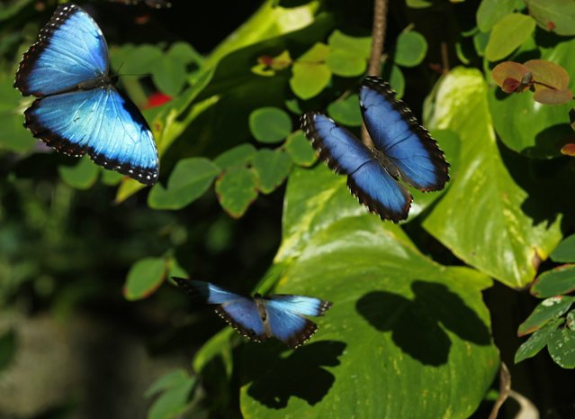 Common Blue Morpho butterflies float through the air as they and hundreds of other butterflies from around the world fill the bird aviary for the next month at the San Diego Zoo Safari Park in San Diego, California March 13, 2015. (Photo by Mike Blake/Reuters)