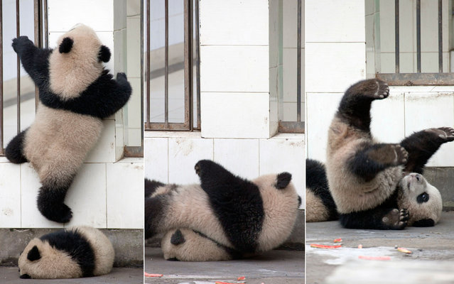 A panda cub trying to climb his cage grid in Chengdu, China, on November 7, 2013. (Photo by Caters News/The Grosby Group)