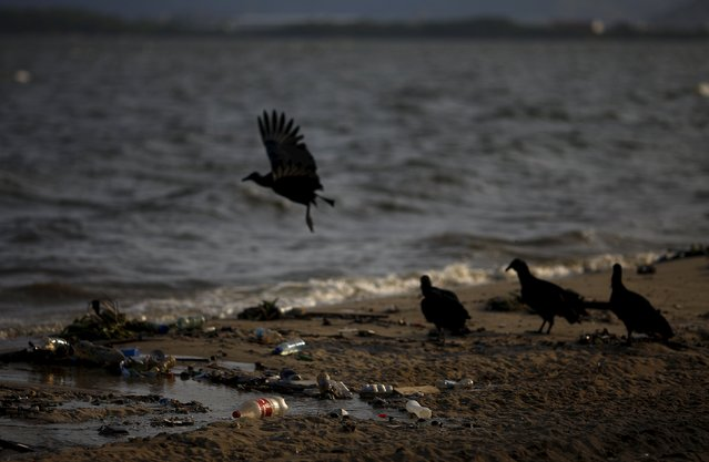 Vultures gather to eat waste at Bica beach, on the banks of the Guanabara Bay, with the Sugar Loaf mountain in background, 500 days ahead the Rio 2016 Olympic Games in Rio de Janeiro March 24, 2015. (Photo by Ricardo Moraes/Reuters)