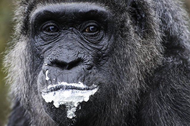 """The female Gorilla Fatou eats a """"rice-cake"""" to celebrate her 61st birthday at the zoo in Berlin, Germany, April 13, 2018. According to Zoo officials Fatou is together with Gorilla Trudy at a Zoo in Little Rock at the United State the oldest living female gorilla in the world. Both Gorillas are around 61 years. (Photo by Markus Schreiber/AP Photo)"""