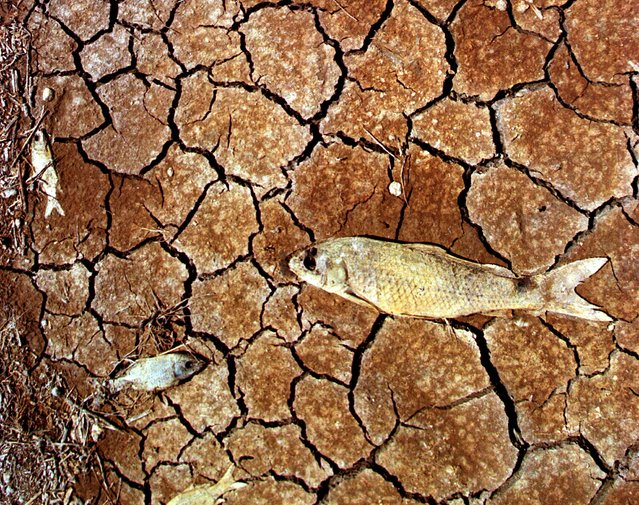 Dead fish lie decomposing in the marsh on the boundaries of the Donana nature reserve a week after 5 million cubic metrers of acid toxic fluid spilled from a nearby mine in Spain, May 1998. (Photo by Desmond Boylan/Reuters)