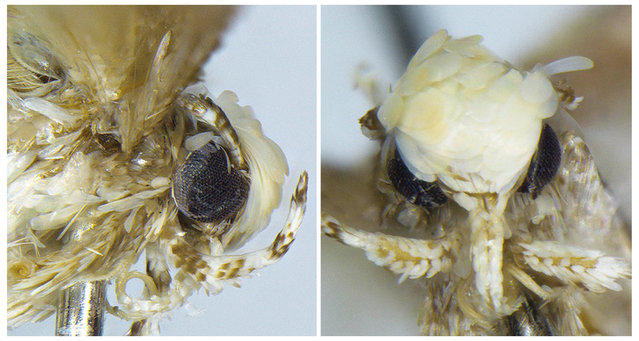 A small moth with a yellowish-white coif of scales, dubbed Neopalpa donaldtrumpi and named after U.S. President-edit Donald Trump, is seen in an undated combination photo provided by evolutionary biologist Vazrick Nazari. (Photo by Courtesy of evolutionary biologist Vazrick Nazari/Reutars)