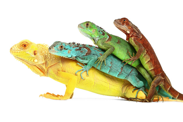 Most probably wouldnt think of snakes, spiders and lizards as beautiful animals – but these photographs could change some minds. The images show the reptiles seemingly playful sides, from a gleeful looking Budgetts frog, a cheeky leopard sticking out its tongue at the camera and a stack of four colourful iguanas. Contrasted against a white background and shot with a Canon EOS 5D Mark 2 and macro lens, photographer Mickael Leger really made sure they could be seen in all their glory. Here: Iguanas. (Photo by Mickael Leger/Caters News)