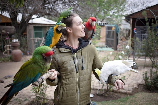 Volunteer Anre Bouguenon cares for some of the 300 parrots at the Brainy Birds Parrot rescue and rehabilitation center in Johannesburg, South Africa, 08 September 2021. The Non-profit animal welfare organization provides a safe, loving environment for the recovery, conservation, and life-long care of over 300 companion Parrots. Parrots who arrive at the center are often neglected by their owner or abused and need serious rehabilitation to get them closer to a natural state. (Photo by Kim Ludbrook/EPA/EFE)