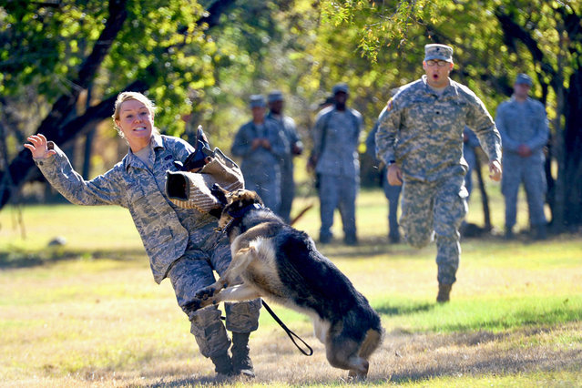 A military working dog takes down Air Force Senior Airman Melissa Goodhile, a military police trainee from Summit Hill, Pa. December 3, 2013 at the Defense Military Working Dog School at Lackland Air Force Base in San Antonio, Texas. (Photo by E.J. Hersom/Department of Defense)