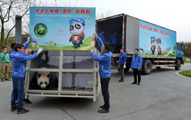 Giant Panda Yuan Xin, inside a glass cage, is carried onto a truck before being sent to South Korea, in Dujiangyan, Sichuan province, China, March 2, 2016. (Photo by Reuters/China Daily)