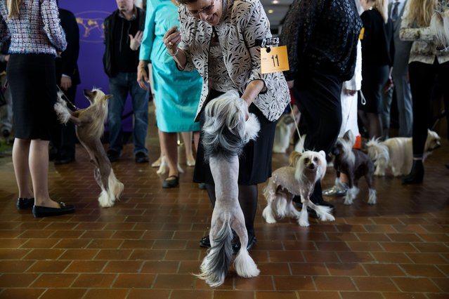 Chinese Crested dogs waits to take the floor during competition at the 141st Westminster Kennel Club Dog Show, February 13, 2017 in New York City. (Photo by Drew Angerer/Getty Images)