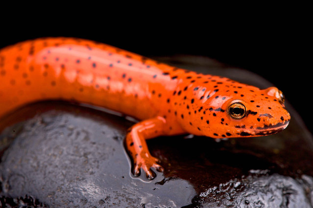 Red salamander (Pseudotriton ruber). (Photo by Matthijs Kuijpers/The Guardian)