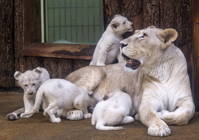 Four rare white lion cubs sit besides their mother Kiara at the zoo in Magdeburg, Germany, Tuesday, February 21, 2017. Keepers weighed the three males and one female and carried out health checks on the cubx. The seven-week-old lions weigh between 8 and 11 kilograms each and have developed splendidly. (Photo by Jens Meyer/AP Photo)
