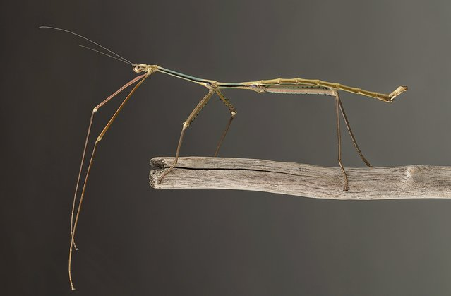 A Phryganistria tamdaoensis male stick insect is seen in an undated handout picture courtesy of Dr. Bruno Kneubuehler. While this new stick insect is not the world's longest, at nine inches, it belongs to a family known as giant sticks. (Photo by Jonathan Brecko/Reuters)