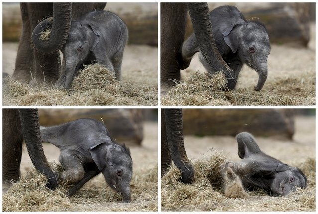 A combination photo shows a newborn Asian elephant falling next to his mother Farina at Pairi Daiza wildlife park, a zoo and botanical garden in Brugelette, Belgium, May 25, 2015. (Photo by Francois Lenoir/Reuters)
