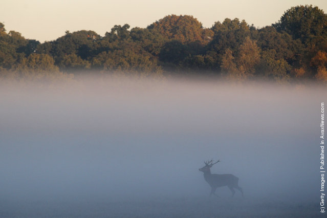Autumn Deer Rut In London's Richmond Park