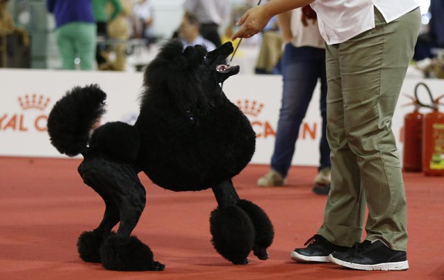 A standard Poodle is displayed at the World Dog Show in Rho, near Milan, Italy, Saturday, June 13, 2015. (AP Photo/Luca Bruno)