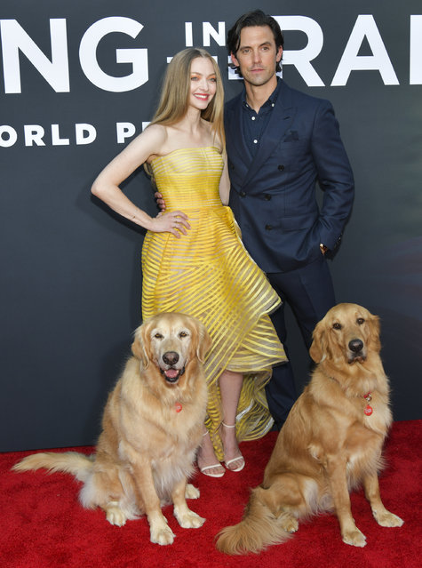 """Amanda Seyfried (L) and Milo Ventimiglia attend the premiere of 20th Century Fox's """"The Art of Racing in the Rain"""" at El Capitan Theatre on August 01, 2019 in Los Angeles, California. (Photo by Rodin Eckenroth/Getty Images)"""
