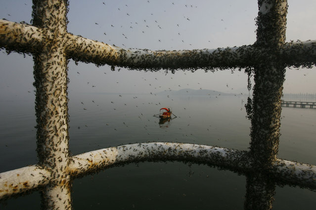 Gnats, or small biting flies, gather on railings along the East Lake in Wuhan, Hubei province November 26, 2009. Gnats appear in the lake due to water pollution and they will leave once the temperature in the area drops in about half a month's time, according to experts, local media reported. (Photo by Reuters/Stringer)