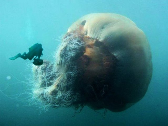 Giant Jellyfish Cyanea capillata