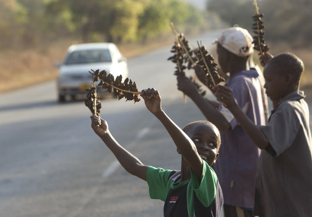 In this photo taken Saturday, September 23, 2017, skewered mice are sold to passing motorists after being caught in a cornfield in Chidza, Masvingo Province, Zimbabwe. (Photo by Tsvangirayi Mukwazhi/AP Photo)