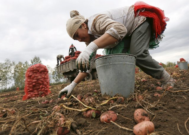 A migrant worker from Uzbekistan collects potatoes at a private agrarian field in the village of Beryozovka near Russia's Siberian city of Krasnoyarsk, Russia, September 7, 2015. (Photo by Ilya Naymushin/Reuters)