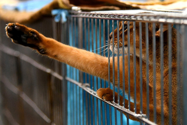 """A cat is pictured in his cage during the """"SuperCat Show 2017"""" on November 11, 2017 in Rome, Italy. (Photo by Alberto Pizzoli/AFP Photo)"""
