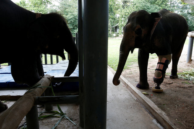 Motola (R), and Mosha, the elephants that were injured by landmines, stand at the Friends of the Asian Elephant Foundation in Lampang, Thailand, June 29, 2016. (Photo by Athit Perawongmetha/Reuters)