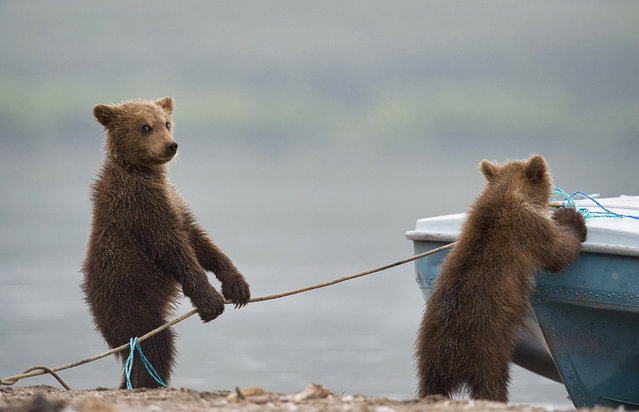 Bears. Kuril lake, Kamchatka, Russia