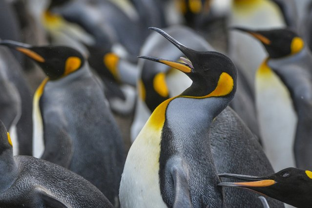 King penguins closely guard their space as a large colony nests on Friday, February 12, 2016, on Volunteer Point, Falkland Islands. (Photo by Jahi Chikwendiu/The Washington Post)