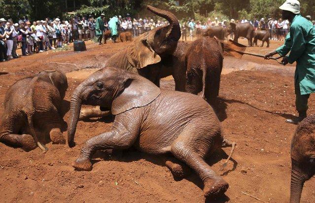 Orphaned baby elephants play at the David Sheldrick Elephant Orphanage within the Nairobi National Park, near Kenya's capital Nairobi October 12, 2014. (Photo by Goran Tomasevic/Reuters)