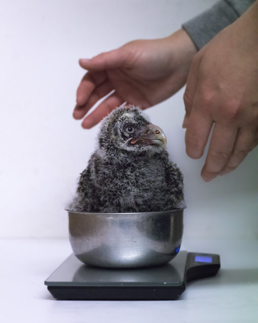 Runner-up, Behind the Scenes: Owl have to be weighing you, by Niall Owen at Welsh Mountain Zoo. Species: Great grey owl. (Photo by Niall Owen/BIAZA 2020 Photography Competition)