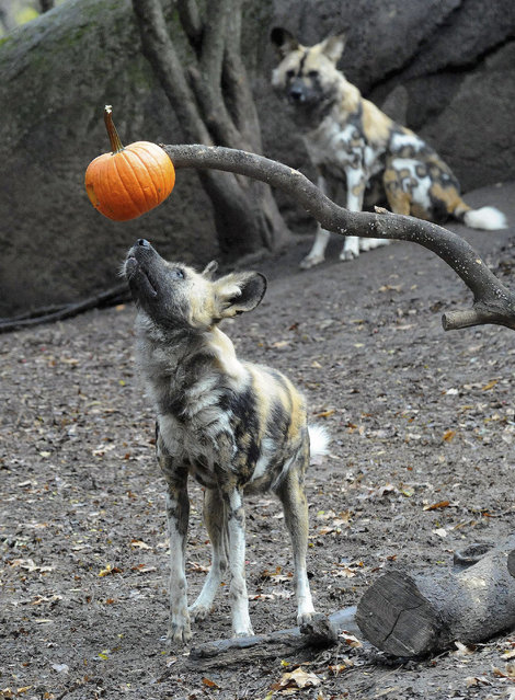 This photo taken Thursday, October 27, 2011 and provided by the Chicago Zoological Society, shows an African wild dog checking out a Halloween treat at Brookfield Zoo in Brookfield, Ill. (Photo by Jim Schulz/AP Photo/Chicago Zoological Society)