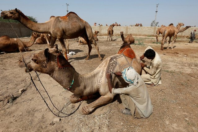 Men use scissors to make intricate decorative patterns on a camel before putting it up for sale at a makeshift cattle market ahead of the Eid al-Adha festival in Karachi, Pakistan September 9, 2016. (Photo by Akhtar Soomro/Reuters)