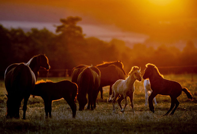 Icelandic foals play in a paddock at a stud farm in Wehrheim near Frankfurt, Germany, on a hot and dry Friday, July 31, 2020. Germany expects this year's highest temperatures. (Photo by Michael Probst/AP Photo)