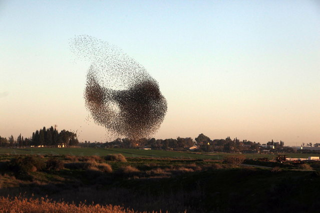 Huge pack of starlings in the sky of the Negev, Israel, on January 21, 2013. Birds are turned in evening twilight before settling to sleep. (Photo by Eliyahu Hershkovitz)