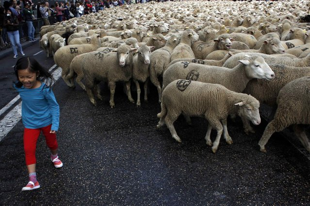 A girl reacts as sheep walk near her during the annual sheep parade through Madrid November 2, 2014. (Photo by Susana Vera/Reuters)