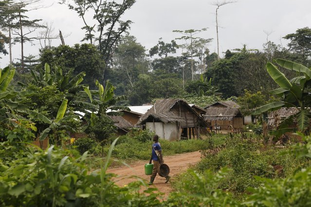 A farmer walks in a village built inside the protected Gouin-Debe forest in Blolequin department, western Ivory Coast August 17, 2015. (Photo by Luc Gnago/Reuters)
