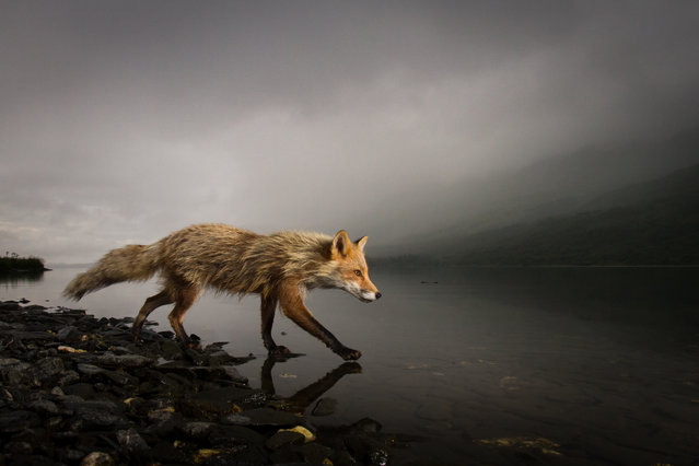 """Walking on water"". In remote parts of Alaska, foxes are often bold and unafraid of people. Last summer I was able to closely observe a young red fox, following close behind as she trotted through the brush searching for salmonberries, or waded the lake shore looking for fish carcasses. Photo location: Karluk Lake, Alaska, USA. (Photo and caption by Jonathan Armstrong/National Geographic Photo Contest)"